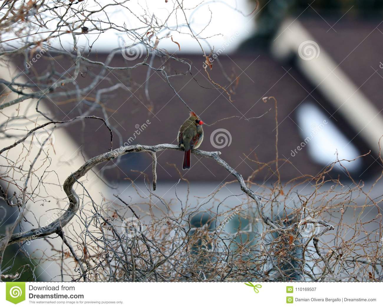 Northern Cardinal in a Branch during winter in Michigan