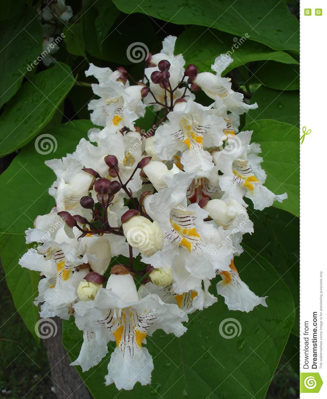 Northern Catalpa Catawba Tree White Flowers Stock Image Image Of