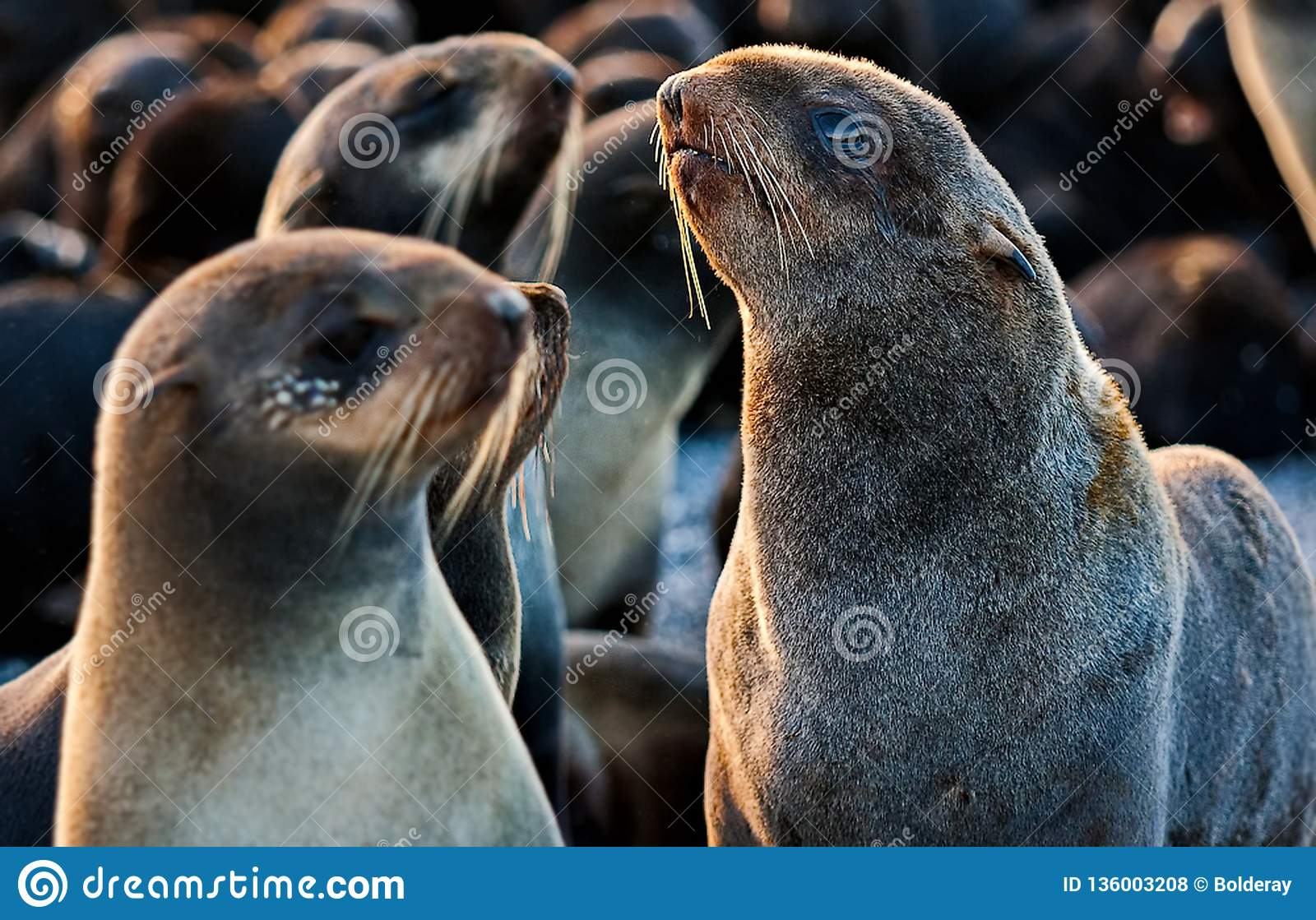 Northern fur seal Callorhinus ursinus is an eared seal found along the north Pacific Ocean, the Bering Sea