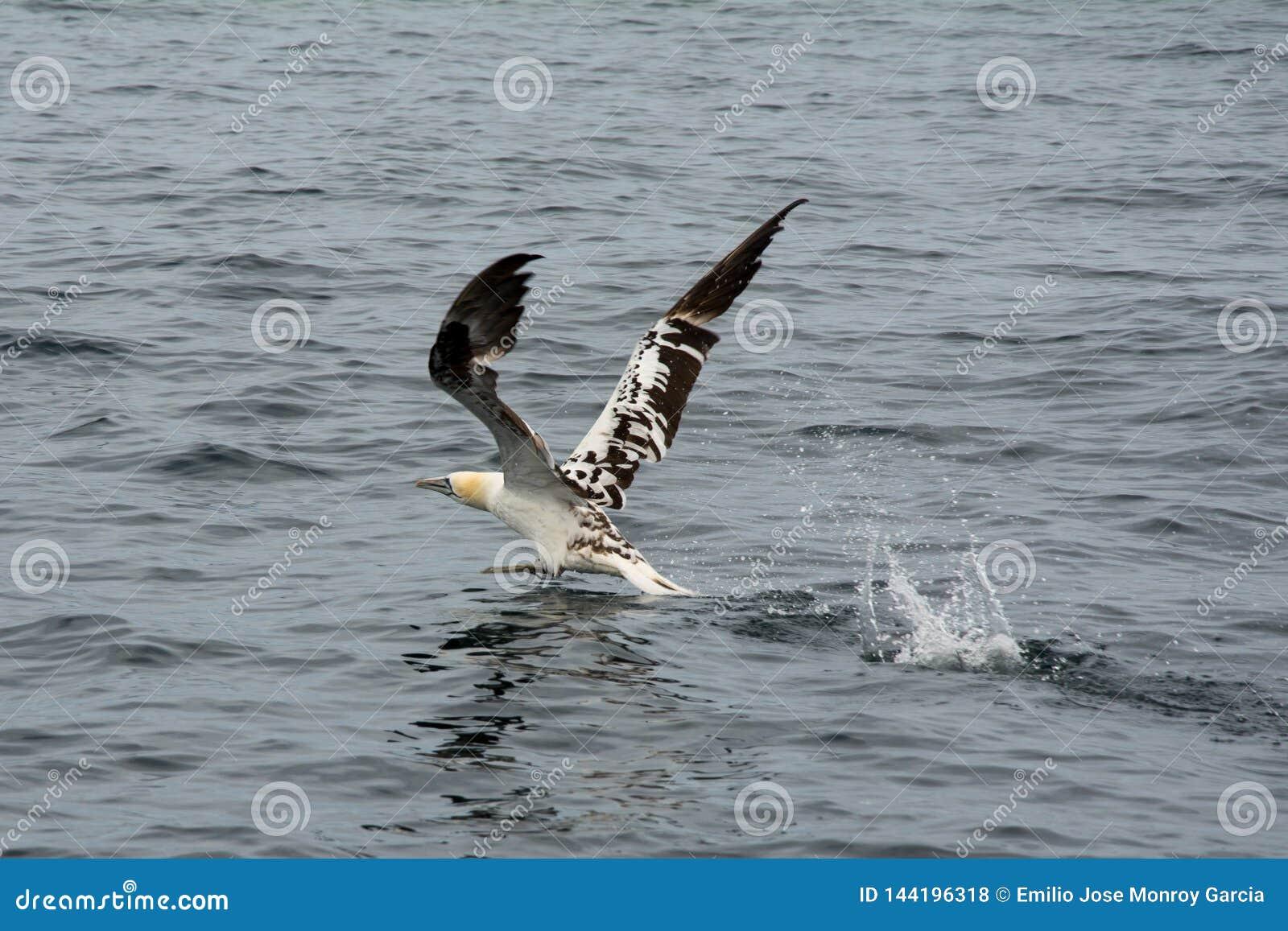Northern gannet Morus bassanus flying over the sea