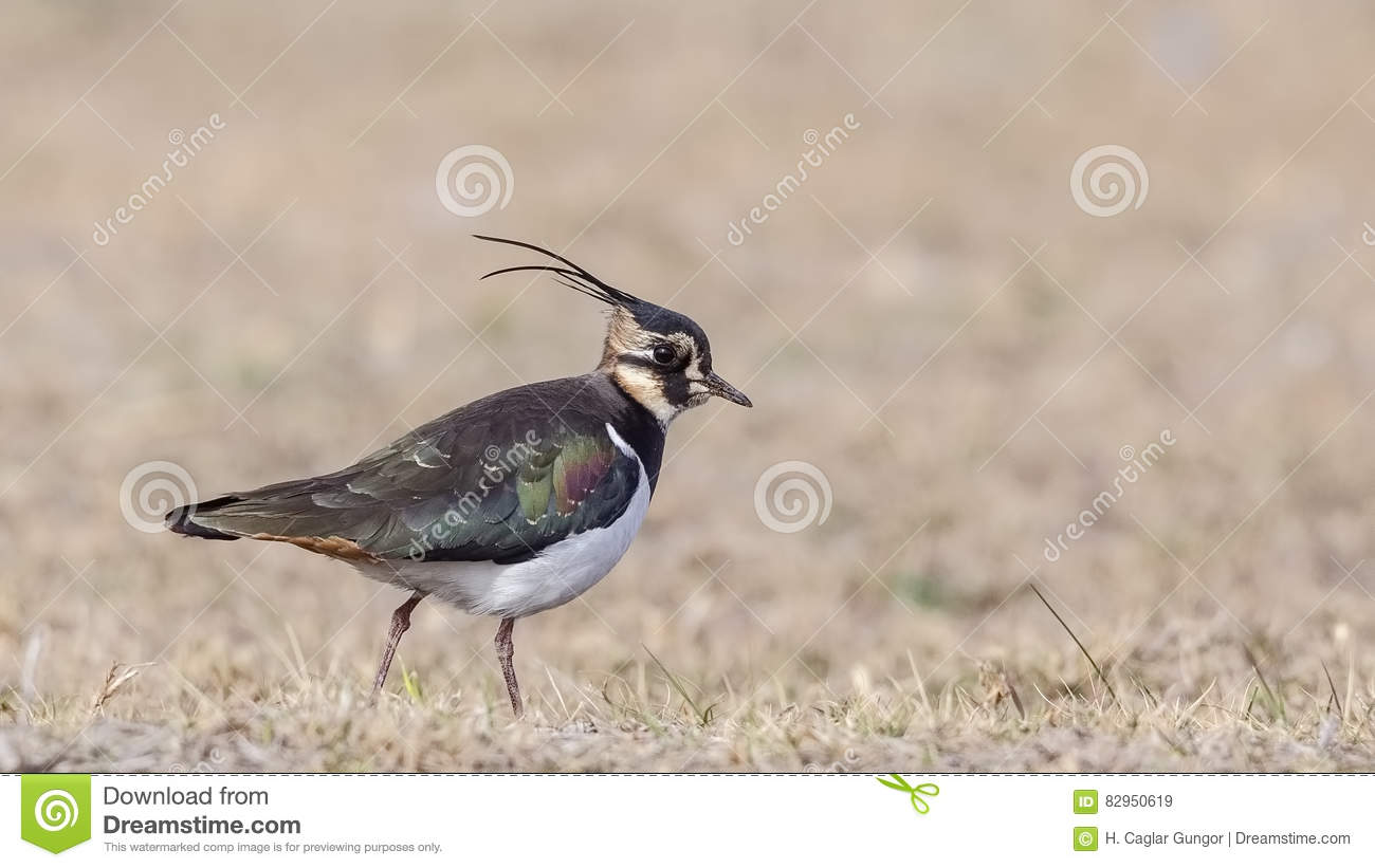 Northern Lapwing on Meadow