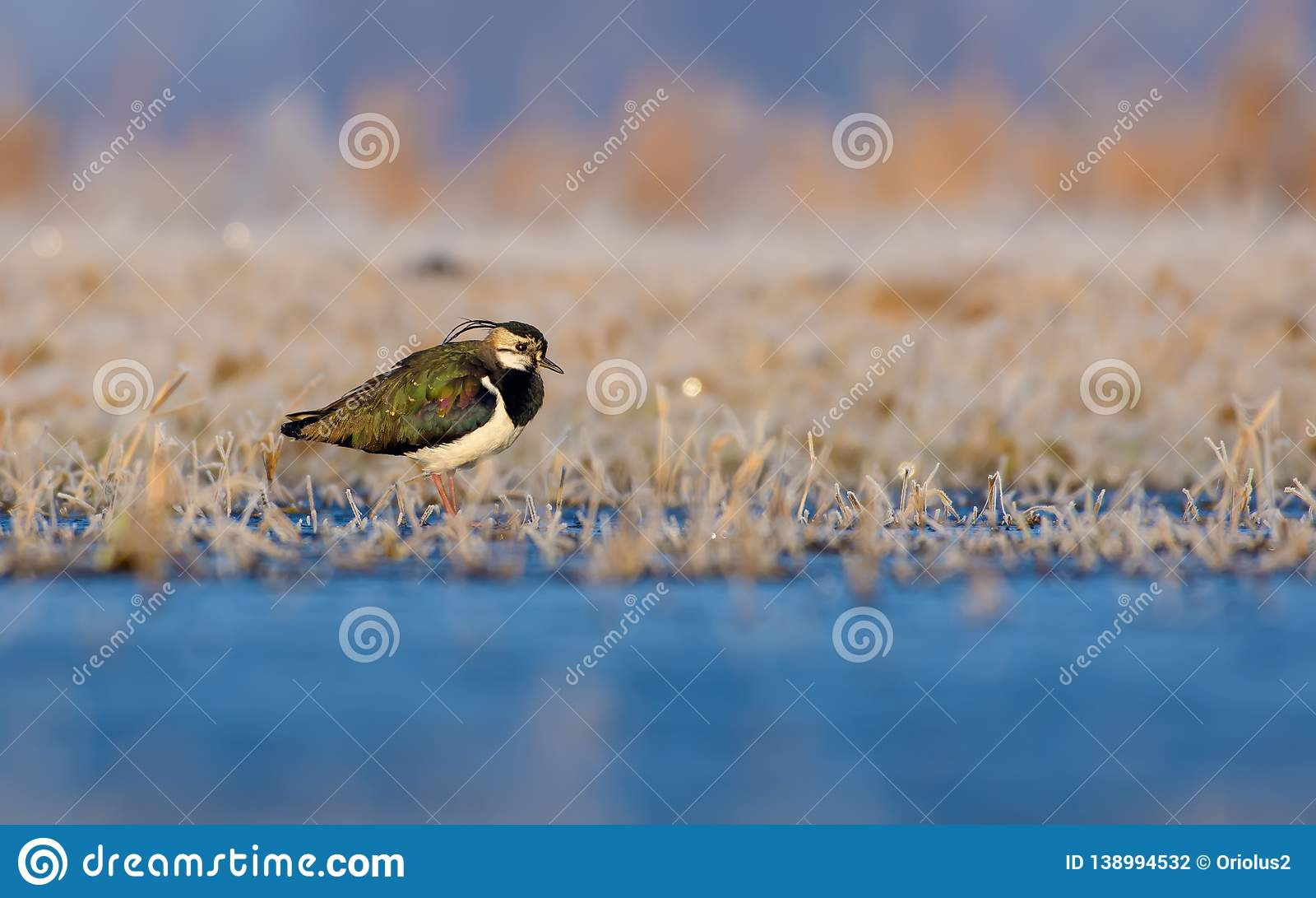 Northern lapwing stands near a shore in icy fields in frost early morning