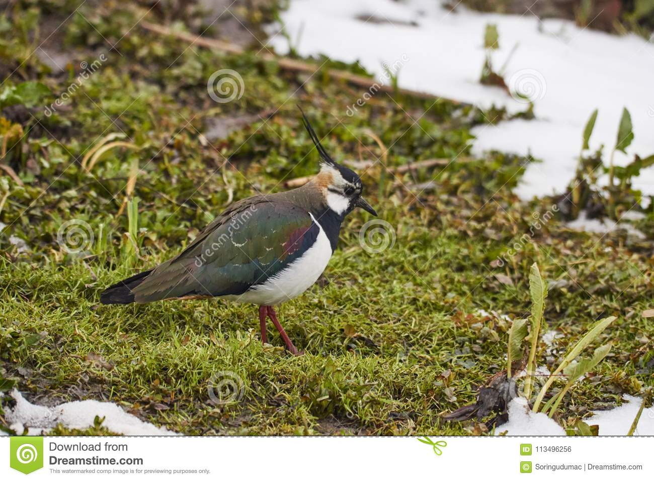 Northern lapwing or Vanellus vanellus in gras with snow.