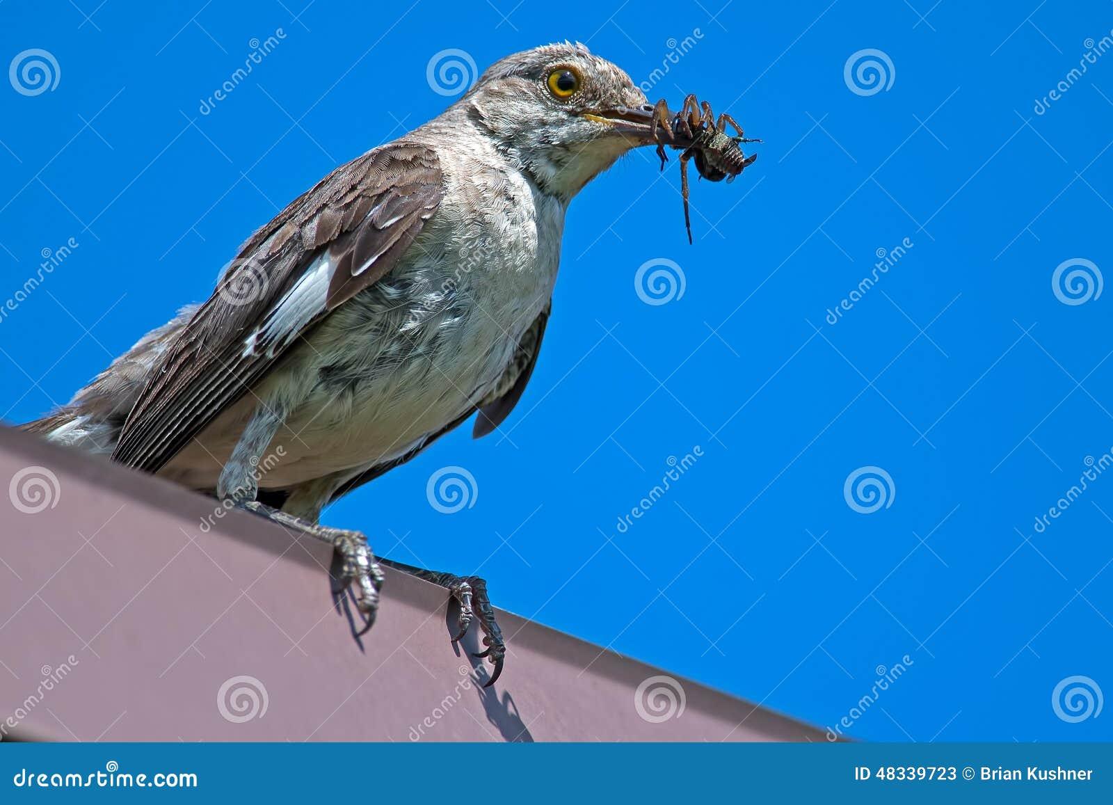 northern mockingbird - Mocking Bird Download