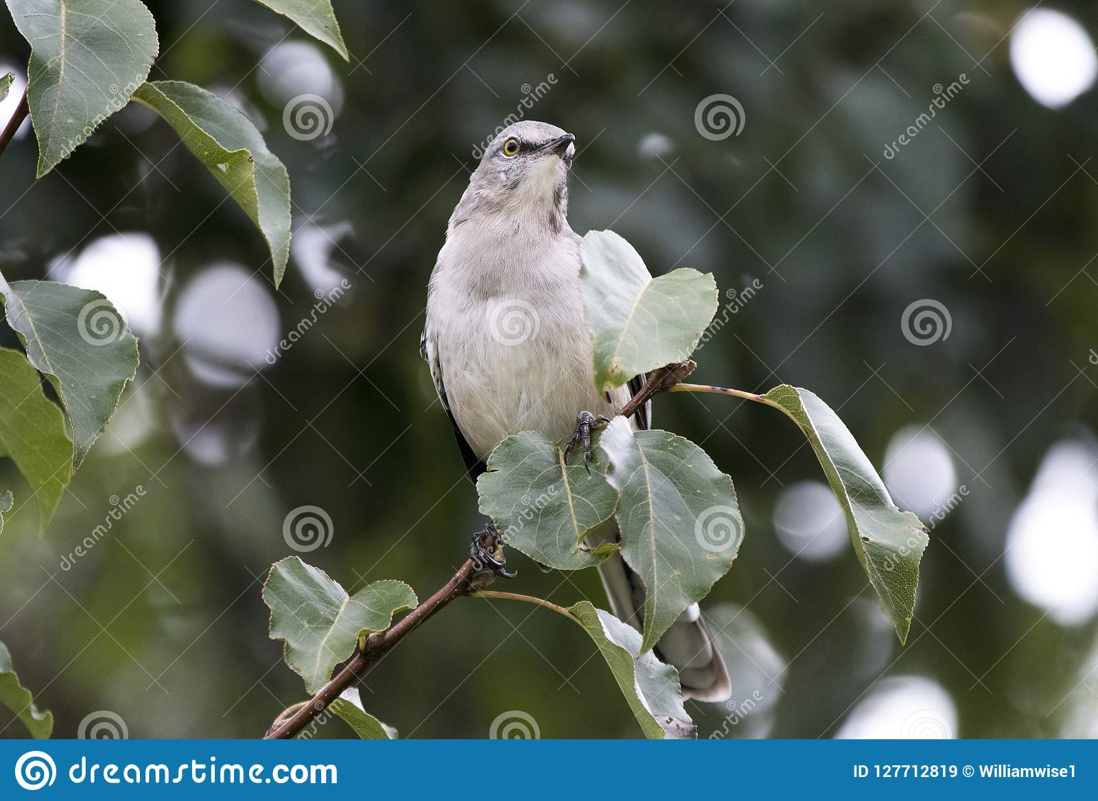Northern Mockingbird perched in Bradford Pear Tree, Georgia