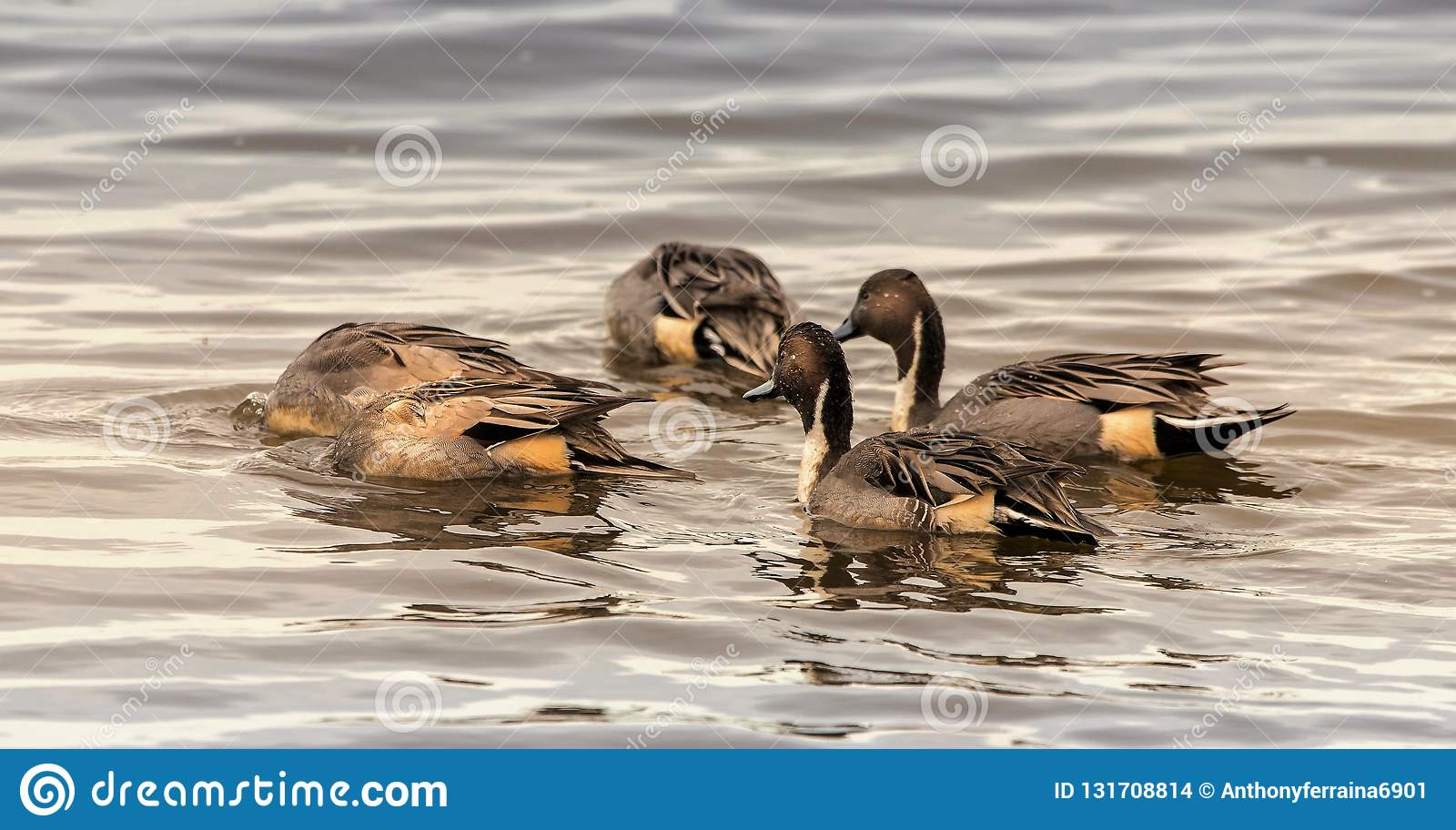 Northern Pintail Ducks bobbing for food