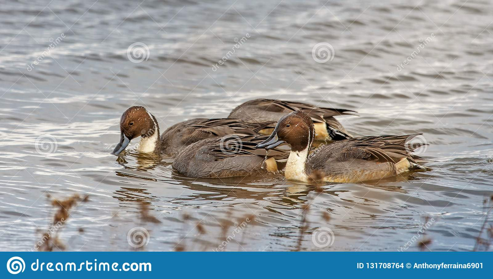 Northern Pintail Ducks under water