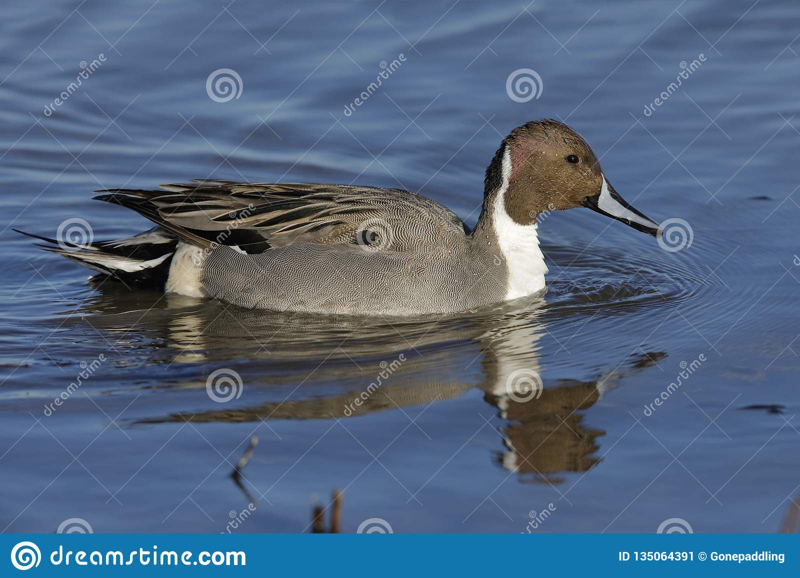 Northern Pintail swimmong on a pond - New Mexico