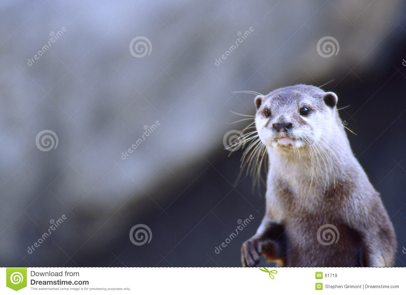 Northern River Otter (Lutra canadensis)