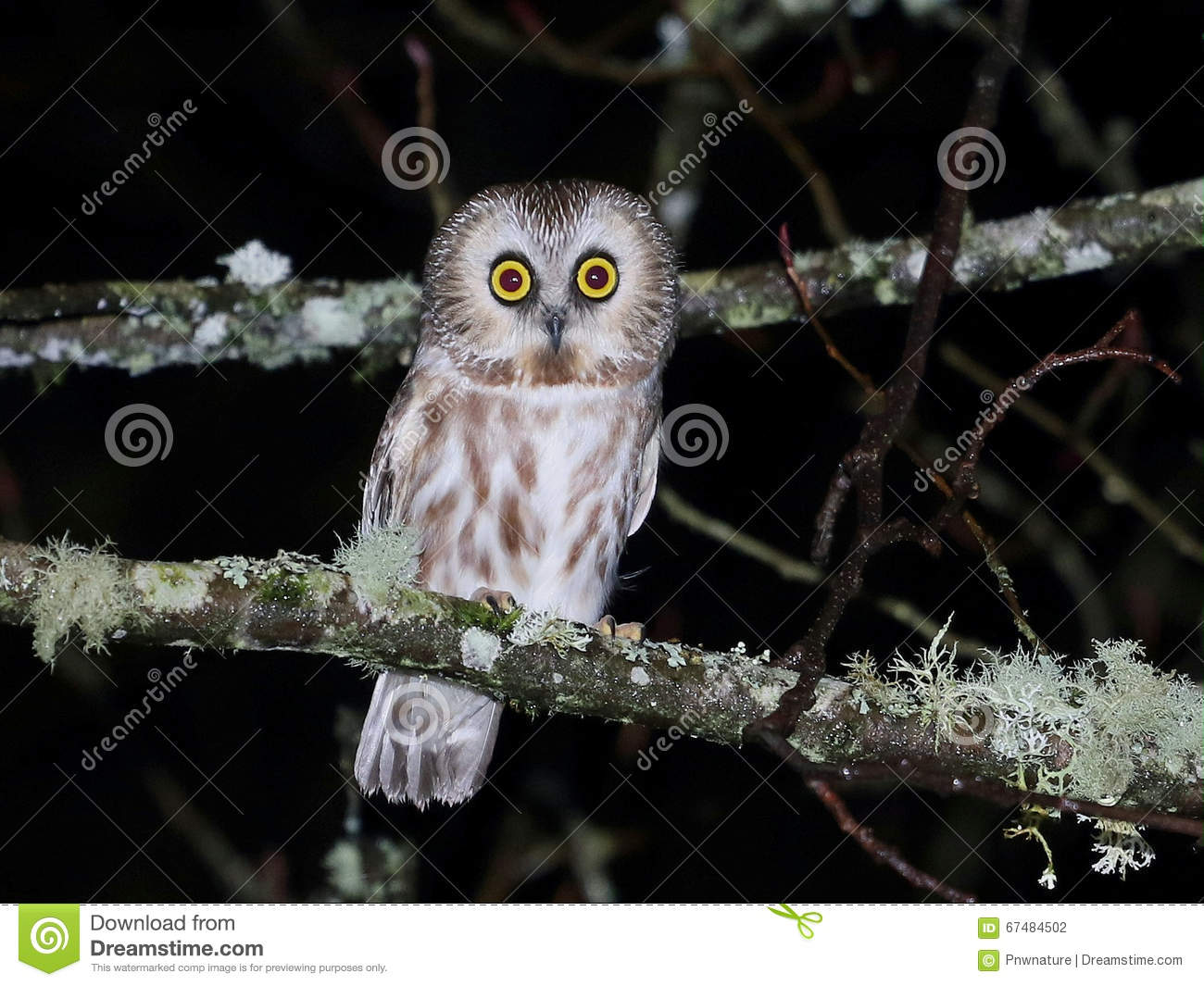 northern saw whet owl at night stock photo image of wildlife