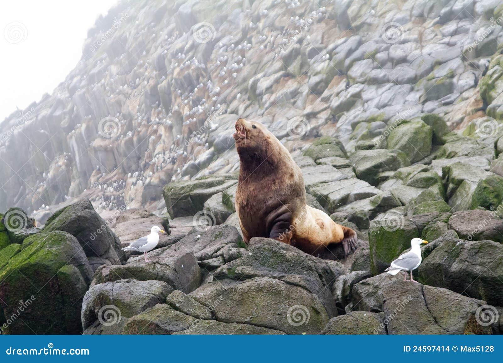 The Northern sea Lion (Steller sea lion).