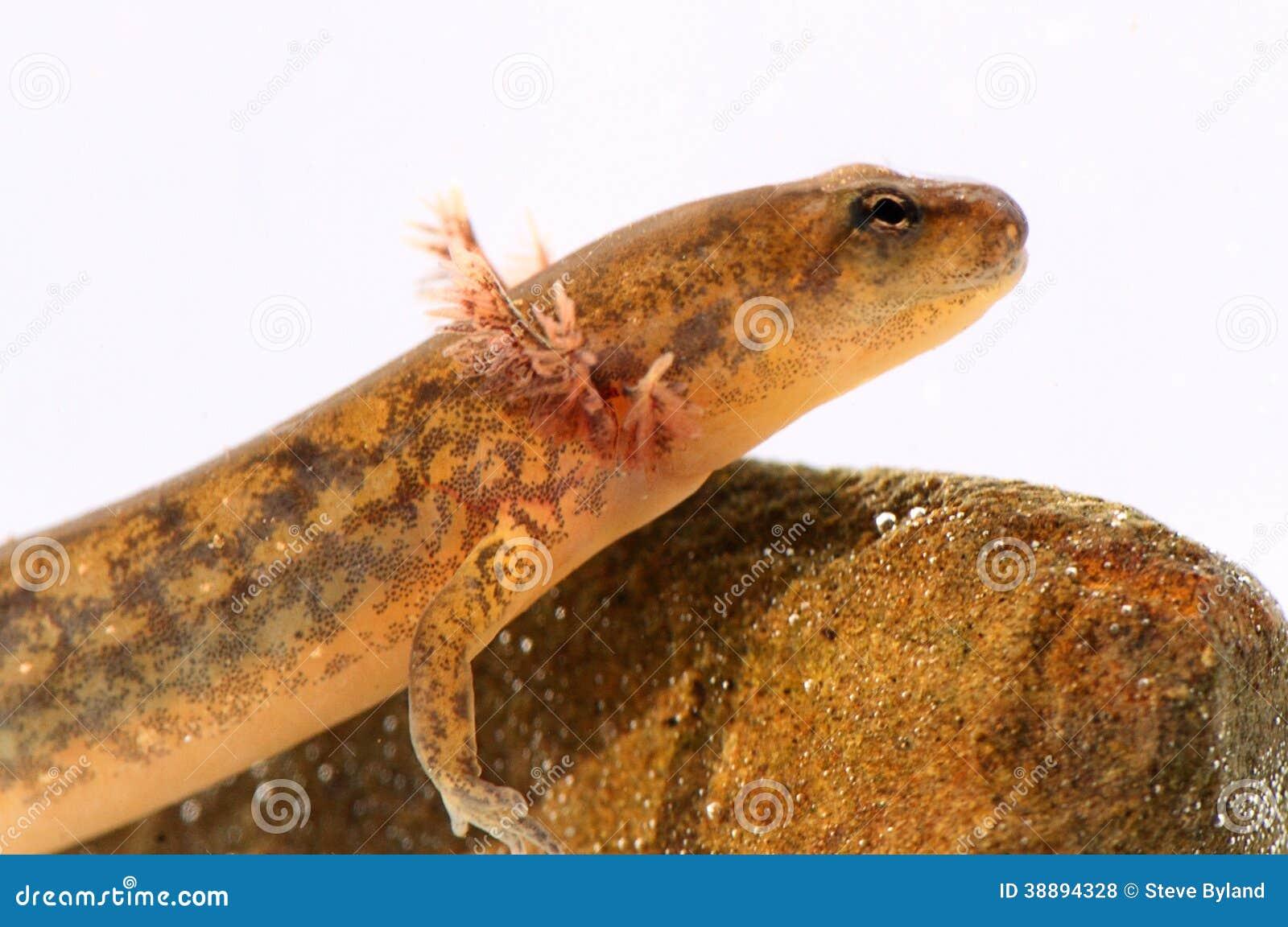 salamander white background - photo #33