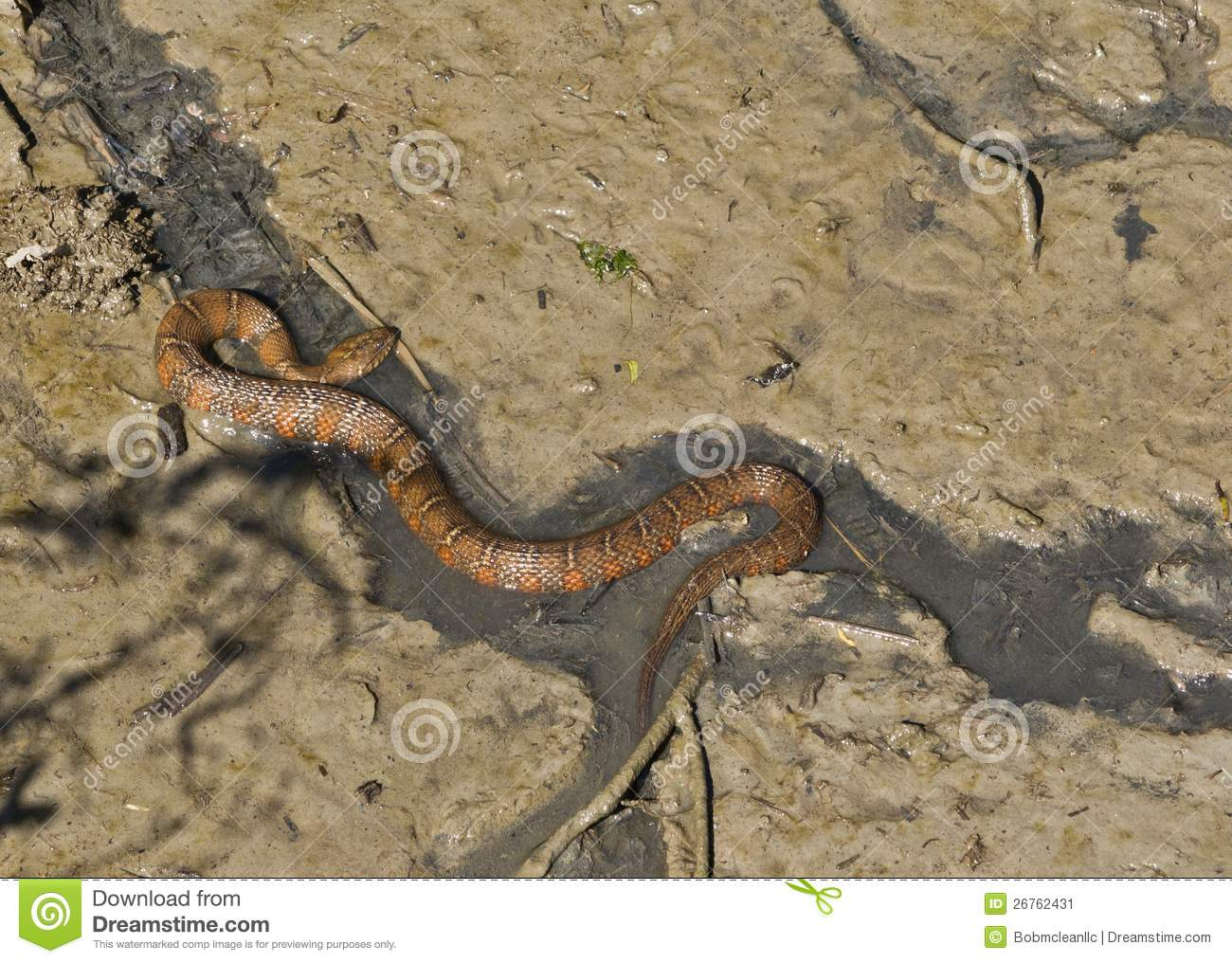 Northern water snake fishing in tidal drainage stock image for Tidal fish chesapeake