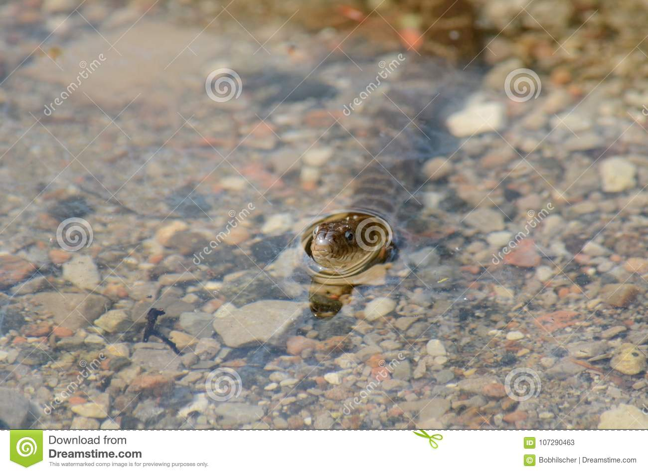 Northern Water Snake in a lake