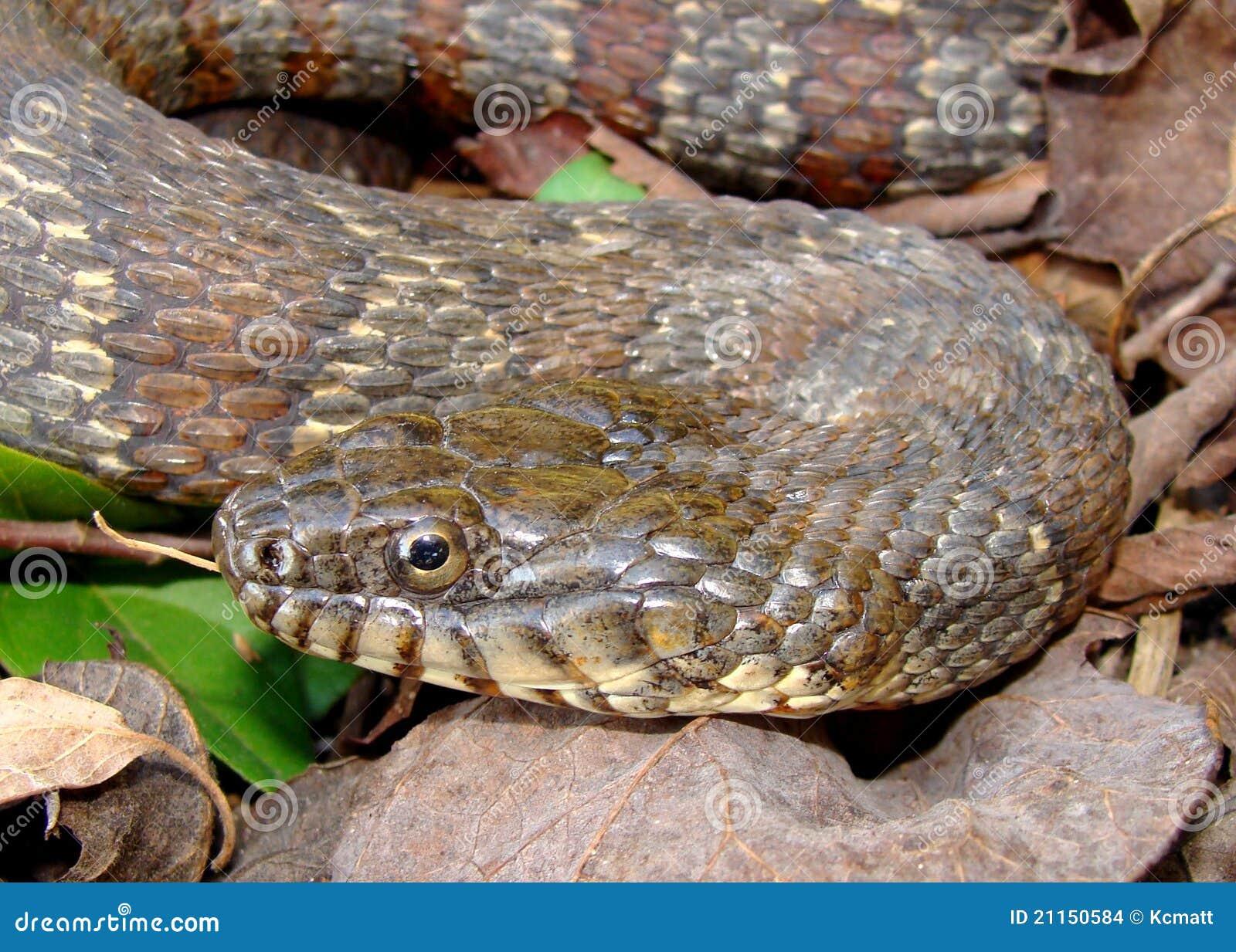 Northern Water Snake, Nerodia sipedon