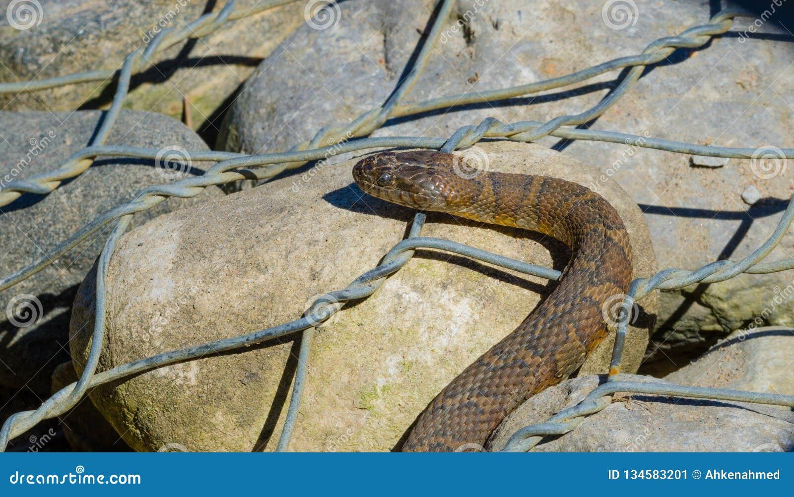 Northern water snake Nerodia sipedon.