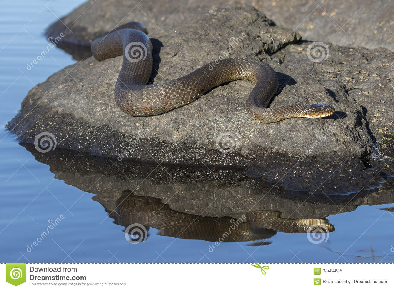 Northern Water Snake Nerodia sipedon sipedon basking on a rock