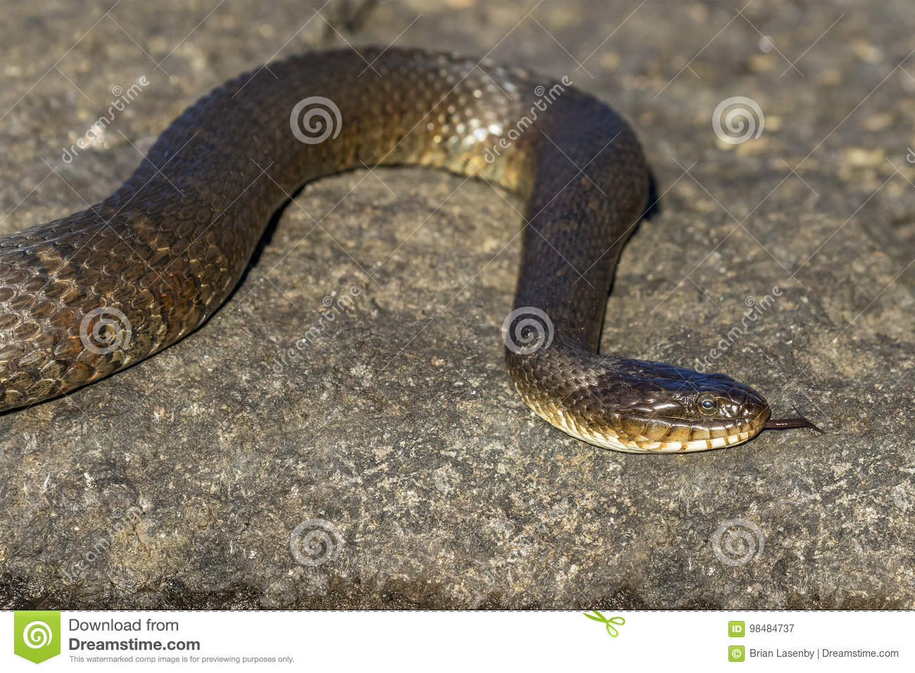 Northern Water Snake Nerodia sipedon sipedon flicking its tong