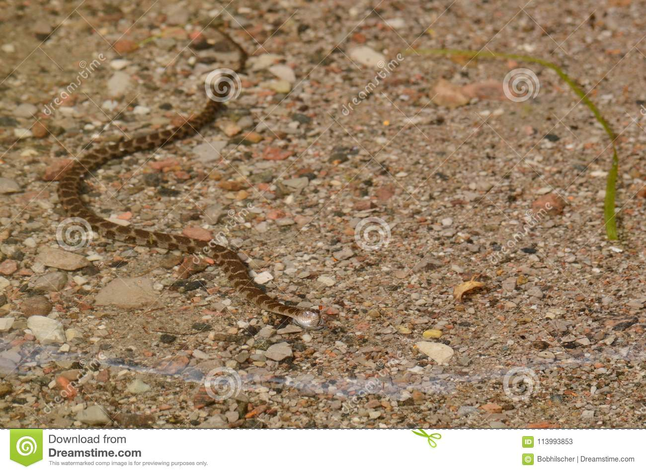 Northern Water Snake swimming in a lake - Stock image