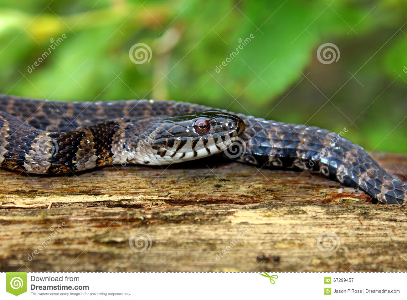 Northern Water Snake Wisconsin