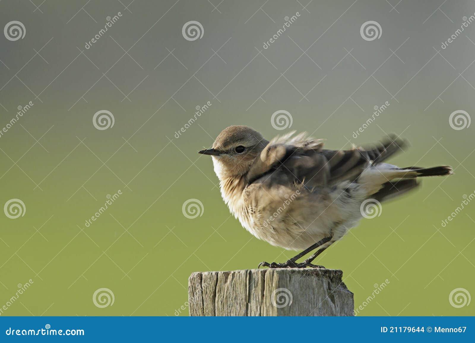 Northern wheatear, oenanthe oenanthe