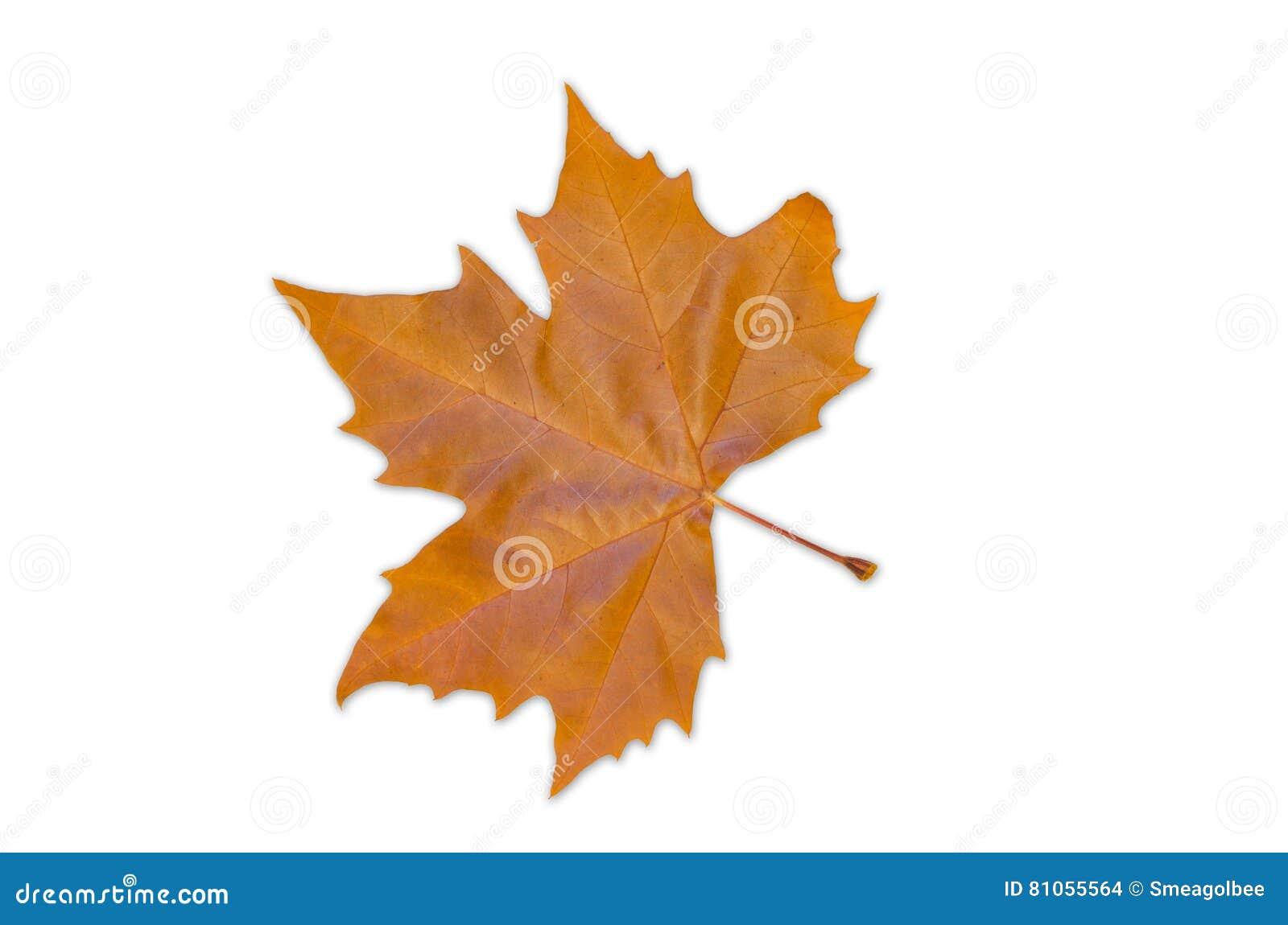 Norway Maple Leaf - Autumn Colour