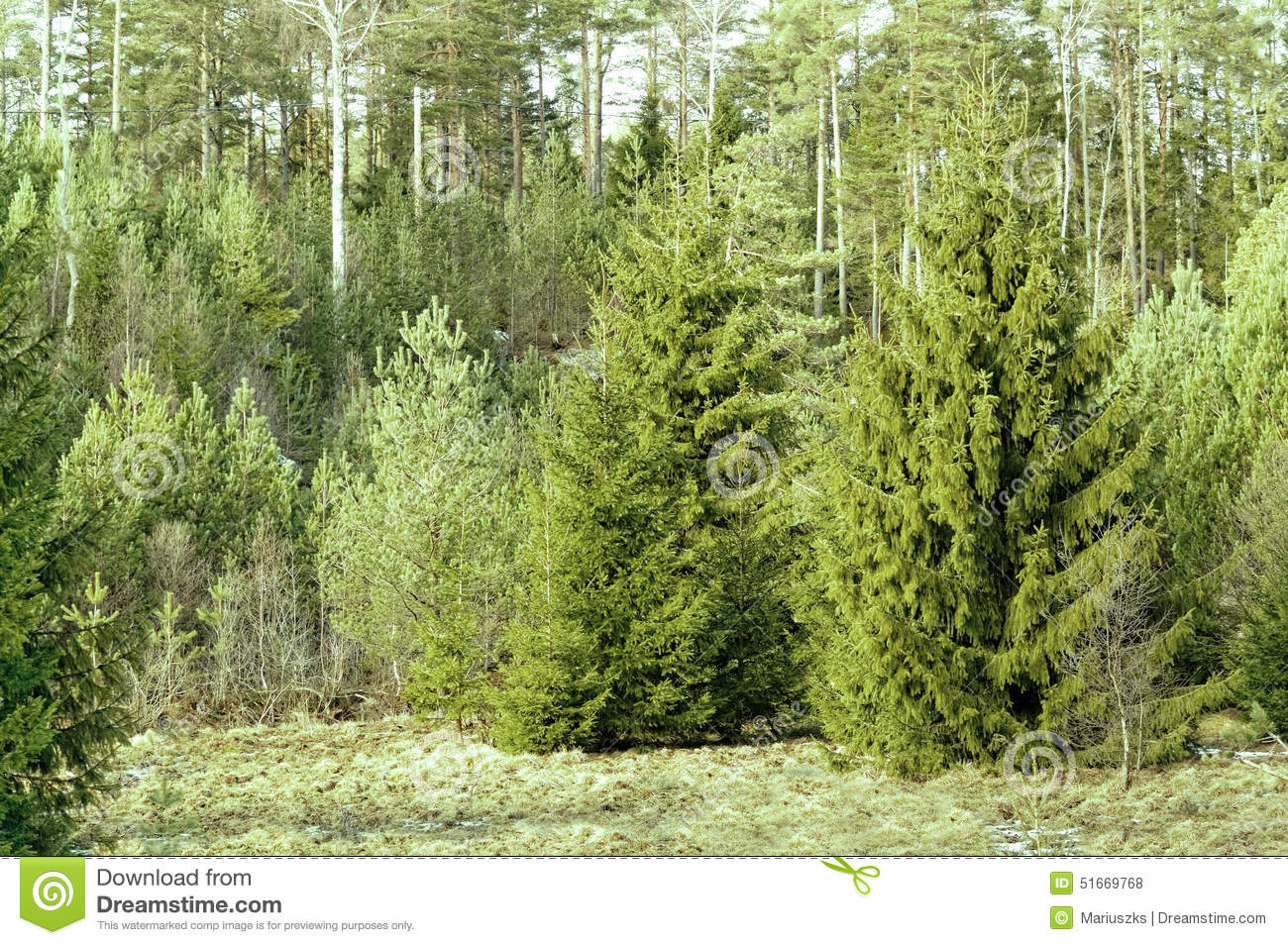 Norway Spruce, Picea Abies Stock Photo - Image: 51669768