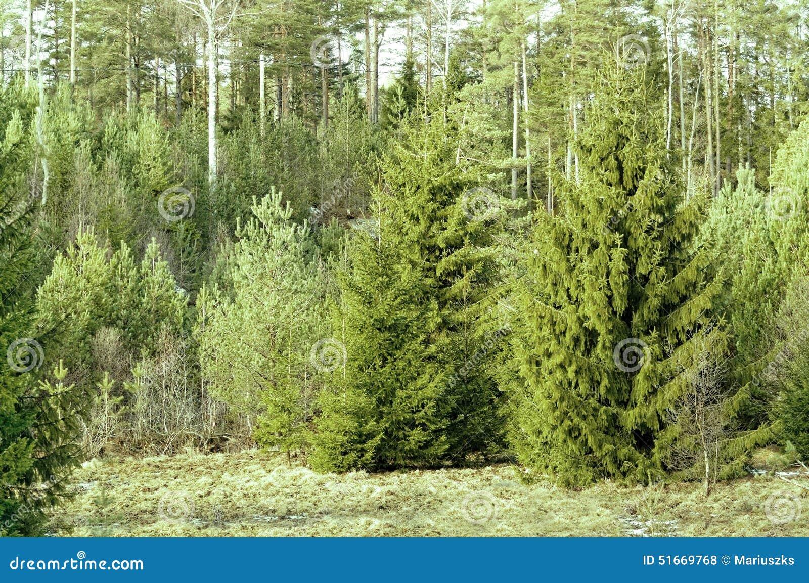 Norwegian Christmas Tree