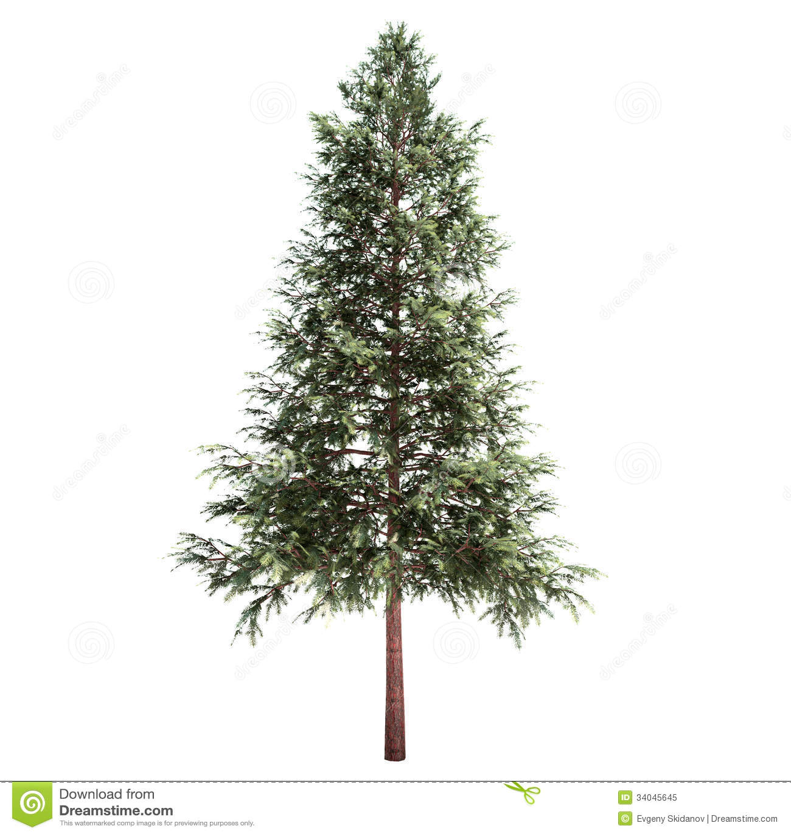 Norway Spruce Tree Isolated Royalty Free Stock Photo - Image: 34045645