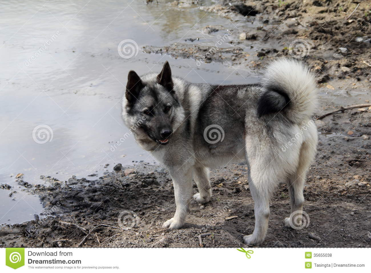 Norwegian Elkhound Norwegian elkhound on the
