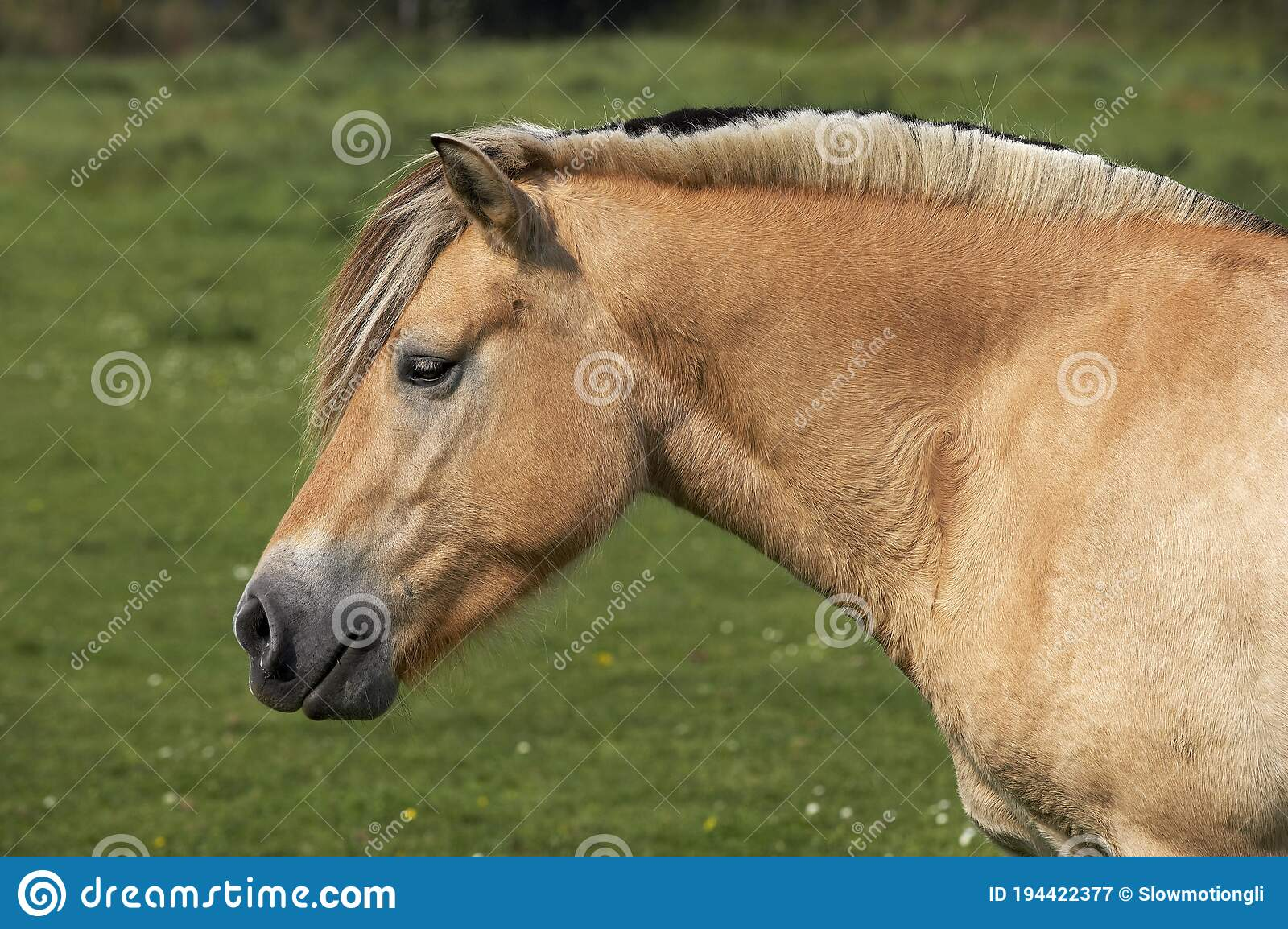 401 Norwegian Fjord Horse Photos Free Royalty Free Stock Photos From Dreamstime