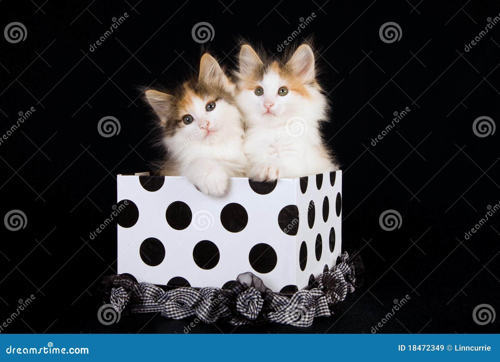 Norwegian Forest Cat kittens in polka dot box