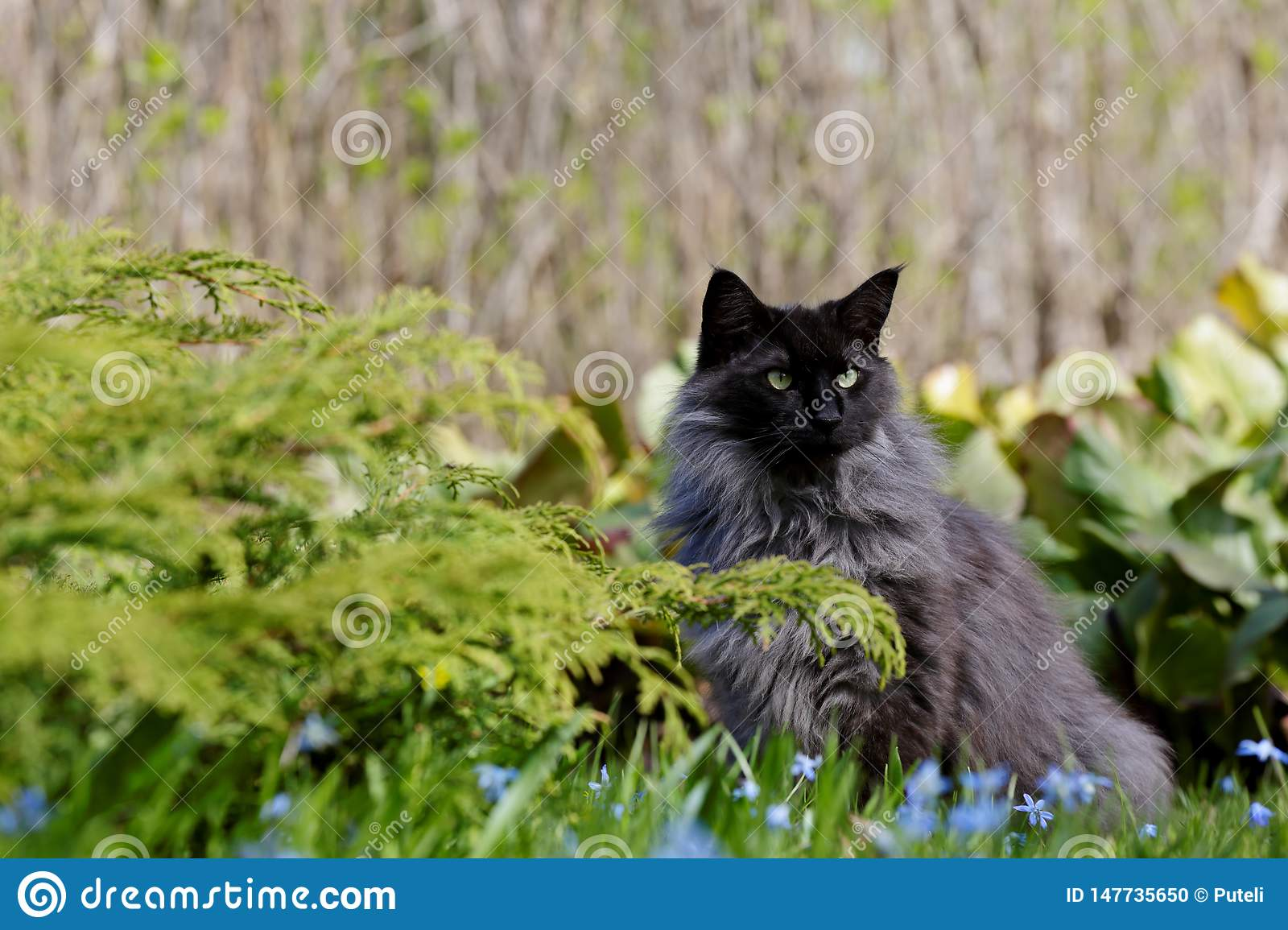A Norwegian Forest Cat Male In Garden With Blue Flowers Stock Photo Image Of Grass Face 147735650