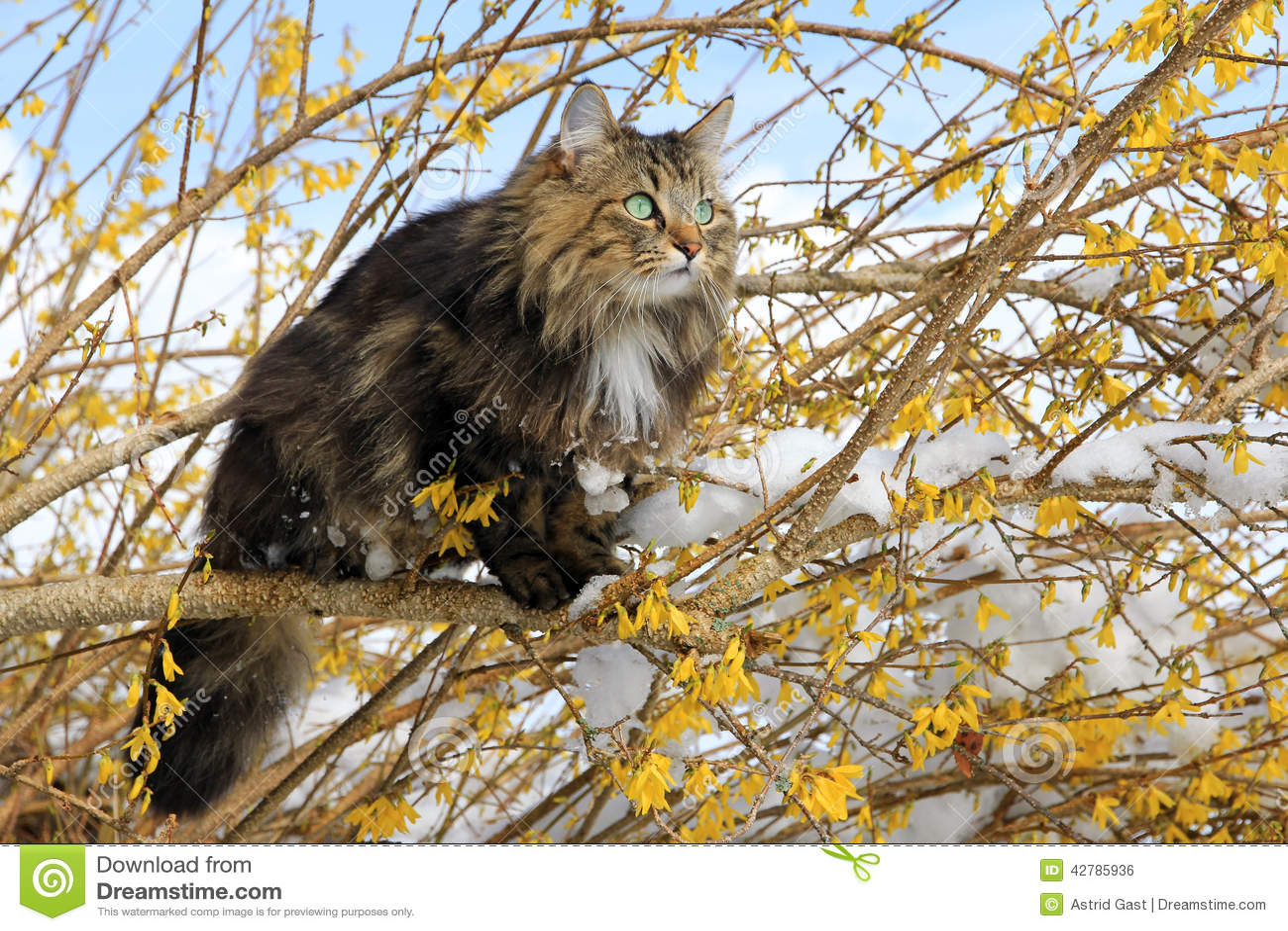 Norwegian Forest Cat I...
