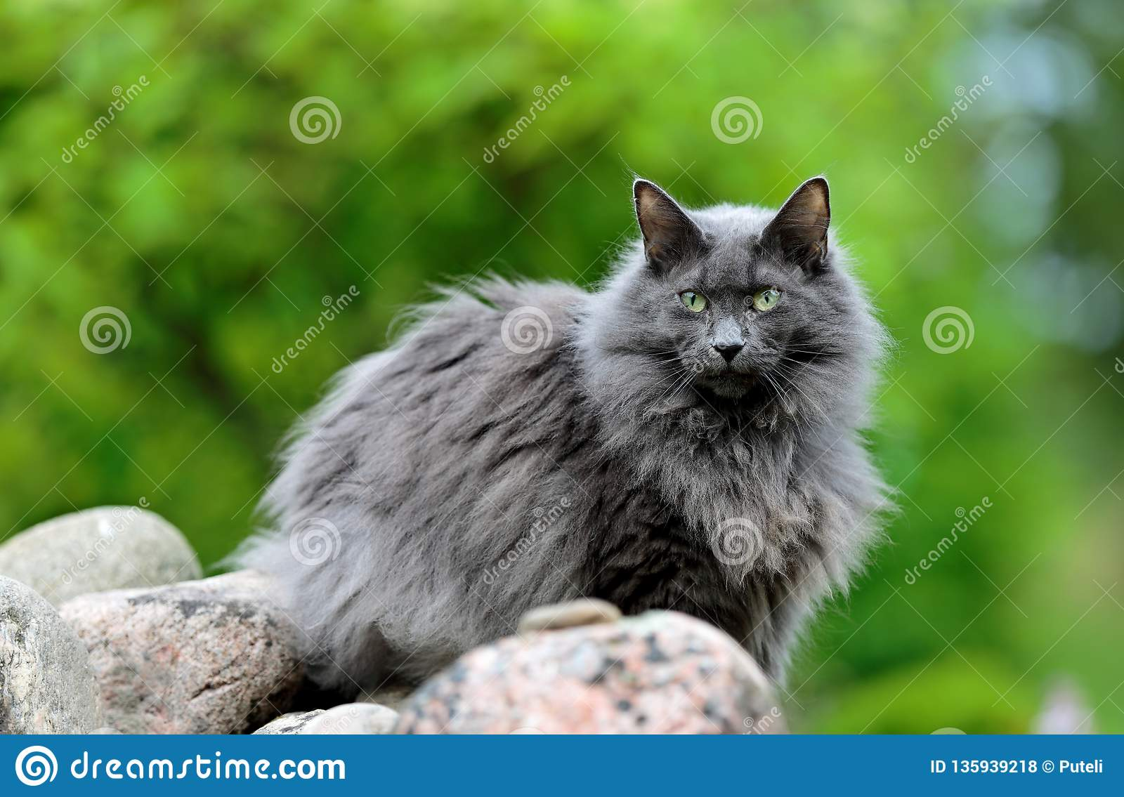 A Norwegian Forest Cat Standing On A Stone Stock Photo Image Of Portrait Pretty 135939218
