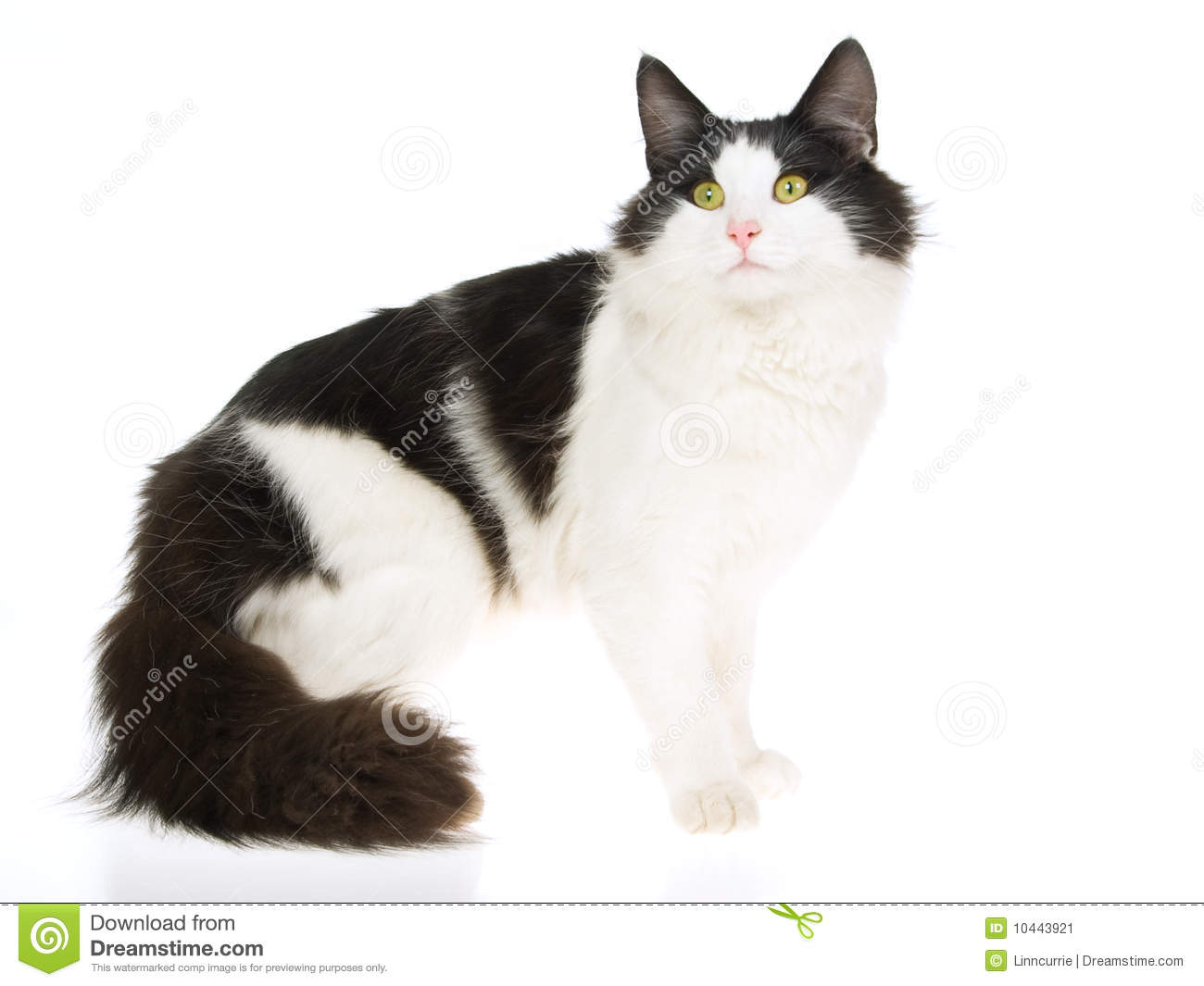 Norwegian Forest Cat, On White Background Stock Image ...