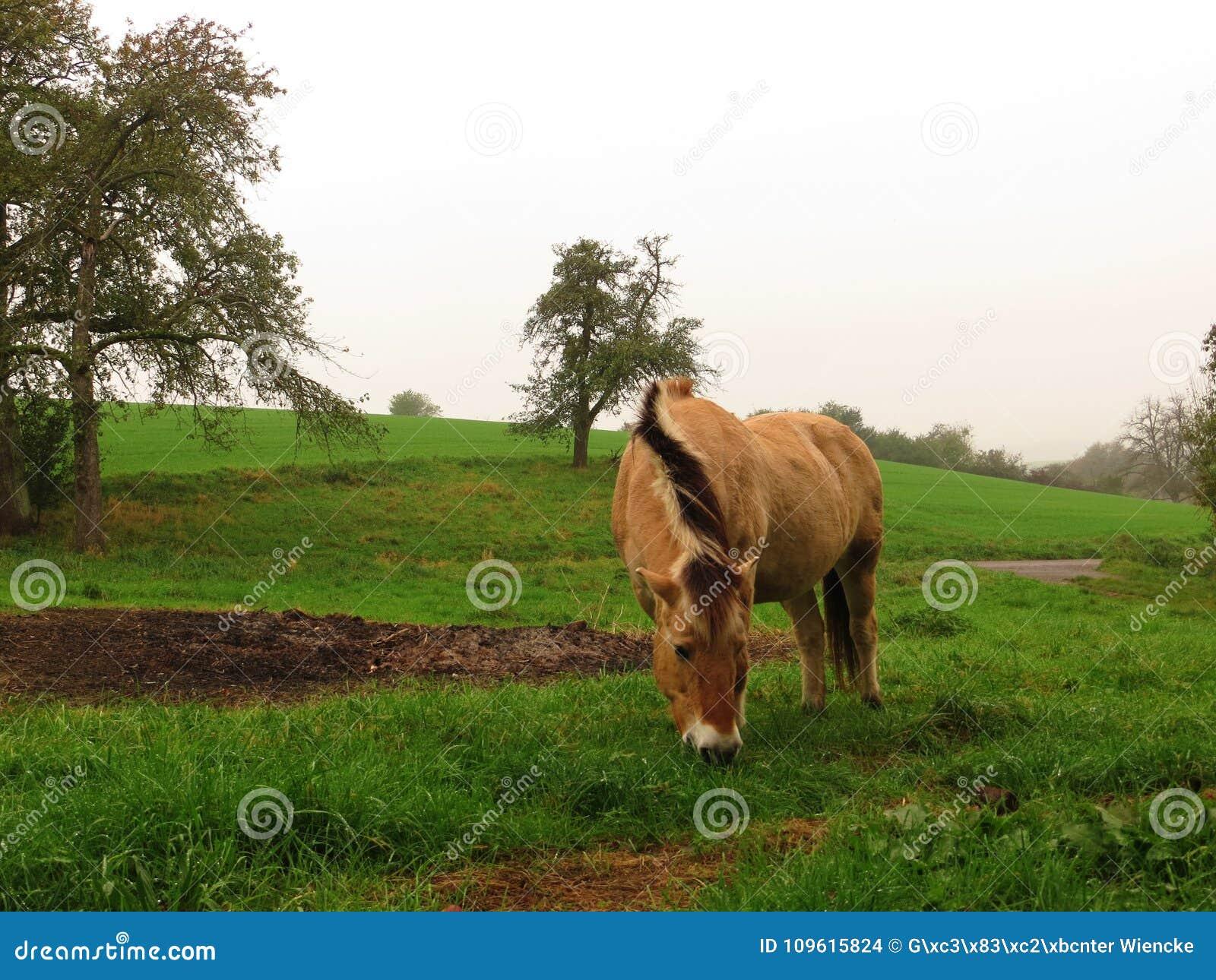 Norwegian horse mare