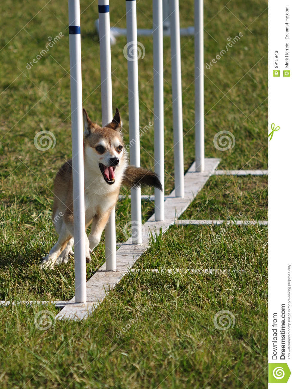 Norwegian Lundehund weave poles at agility trial