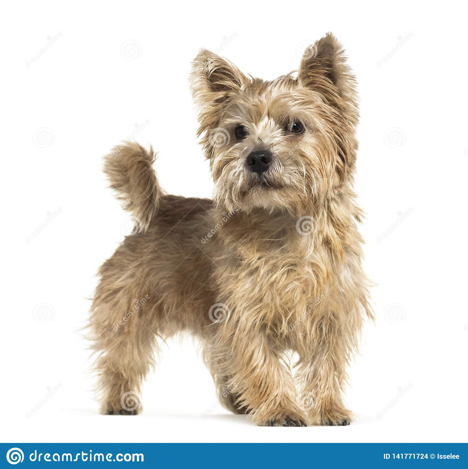 Norwich Terrier In Front Of White Background Stock Photo ...