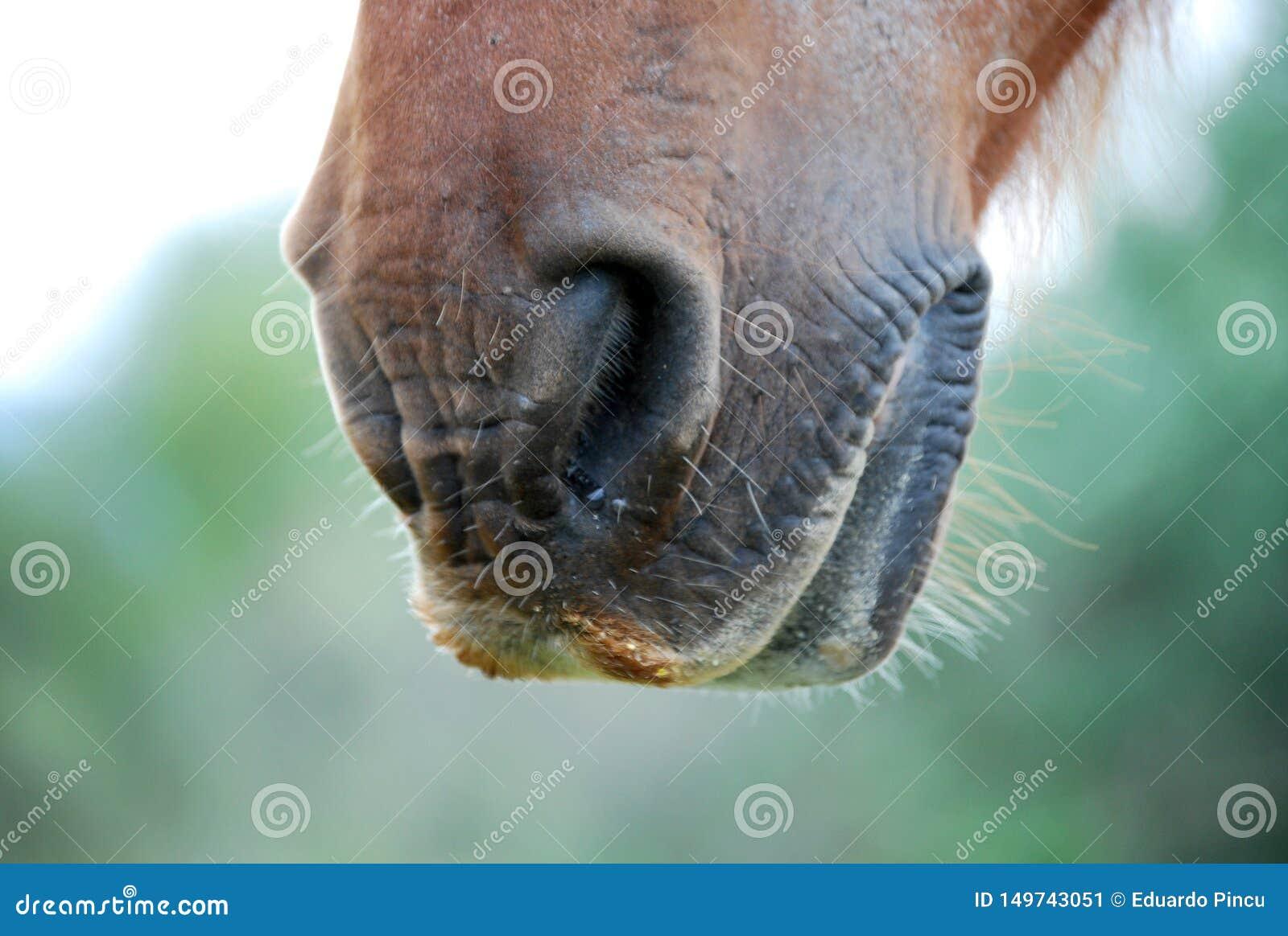 Nos av den bruna fälthästen