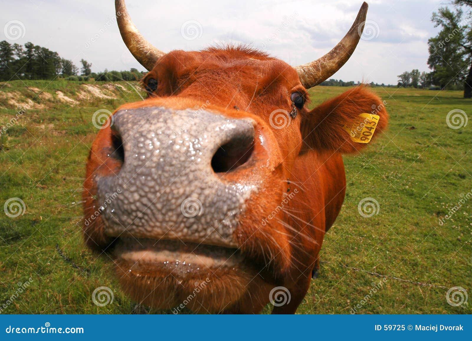 Nos jest krowa