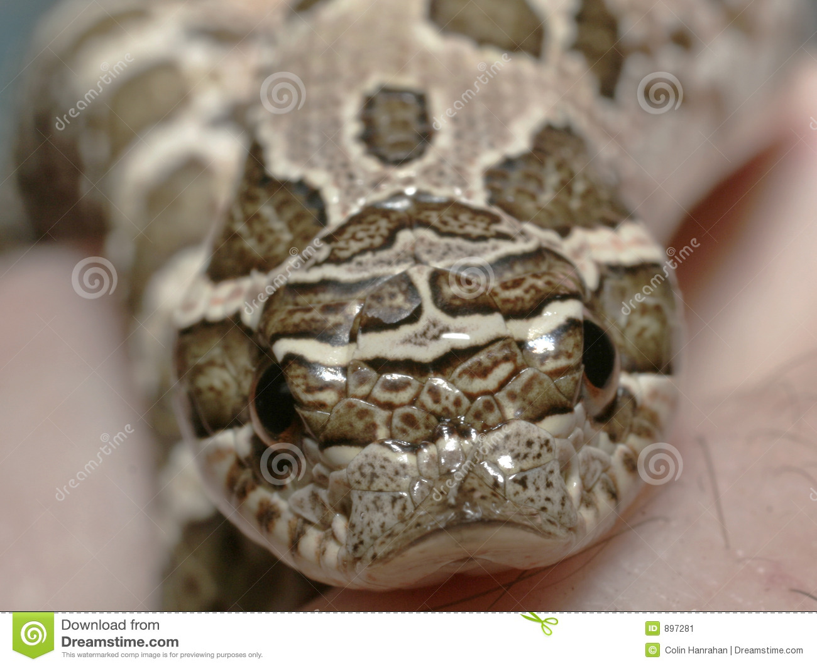 Nos wieprzem węża western