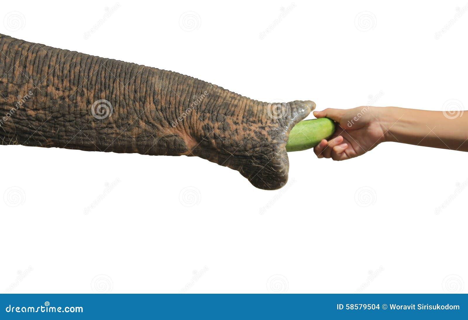 Nose elephant take food of Nose