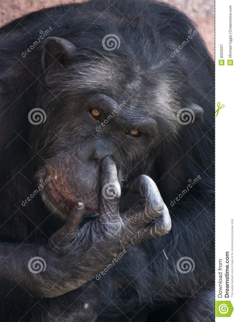 Picture of a monkey picking his nose