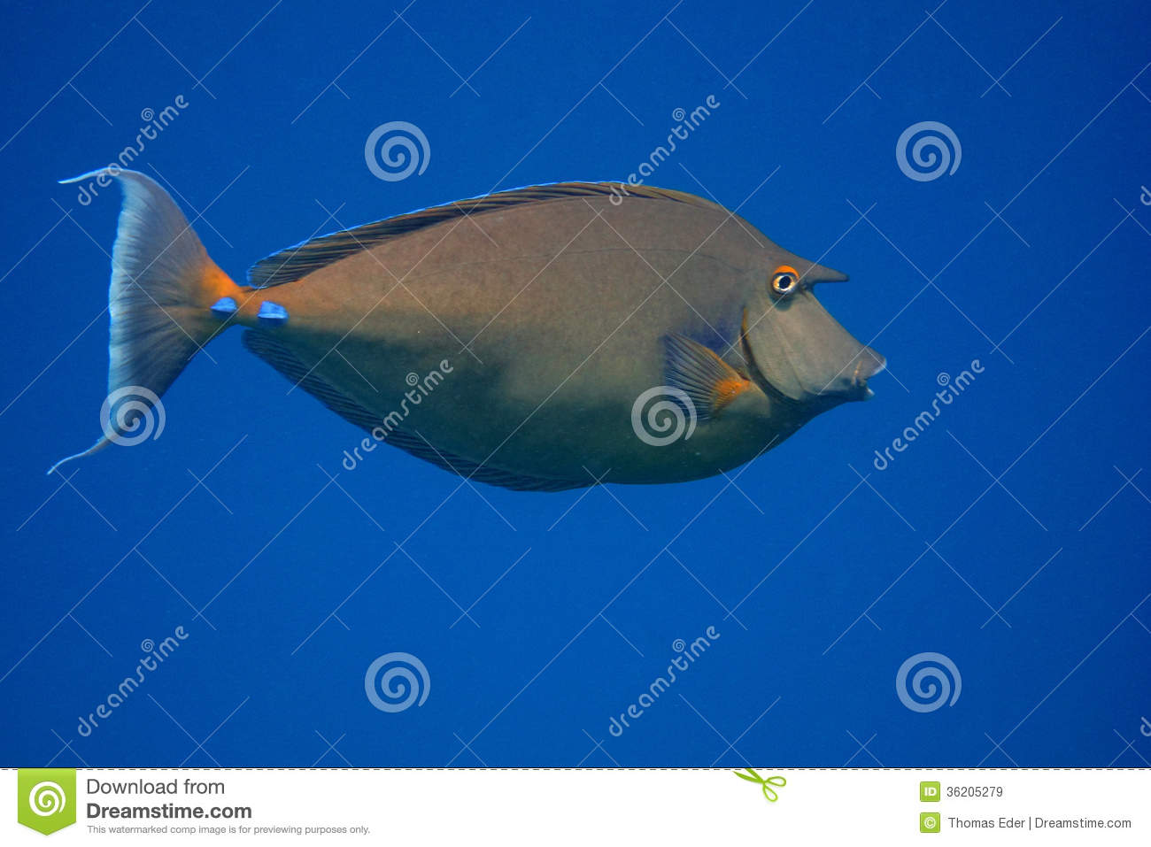 Nose surgeon fish and blue sea royalty free stock images for Big nose fish