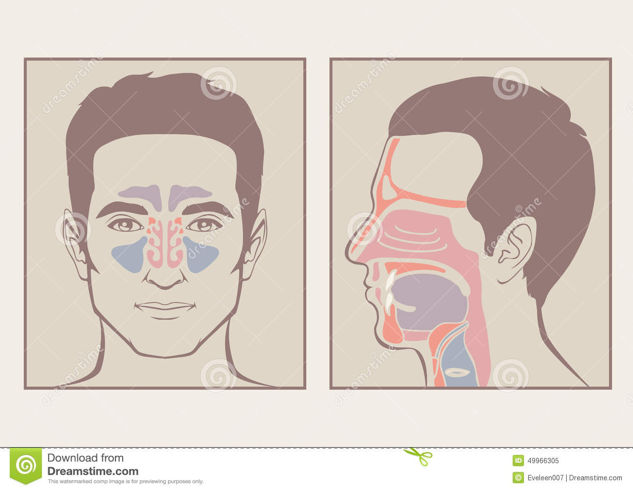 Nose, throat anatomy stock vector. Illustration of breathing - 49966305