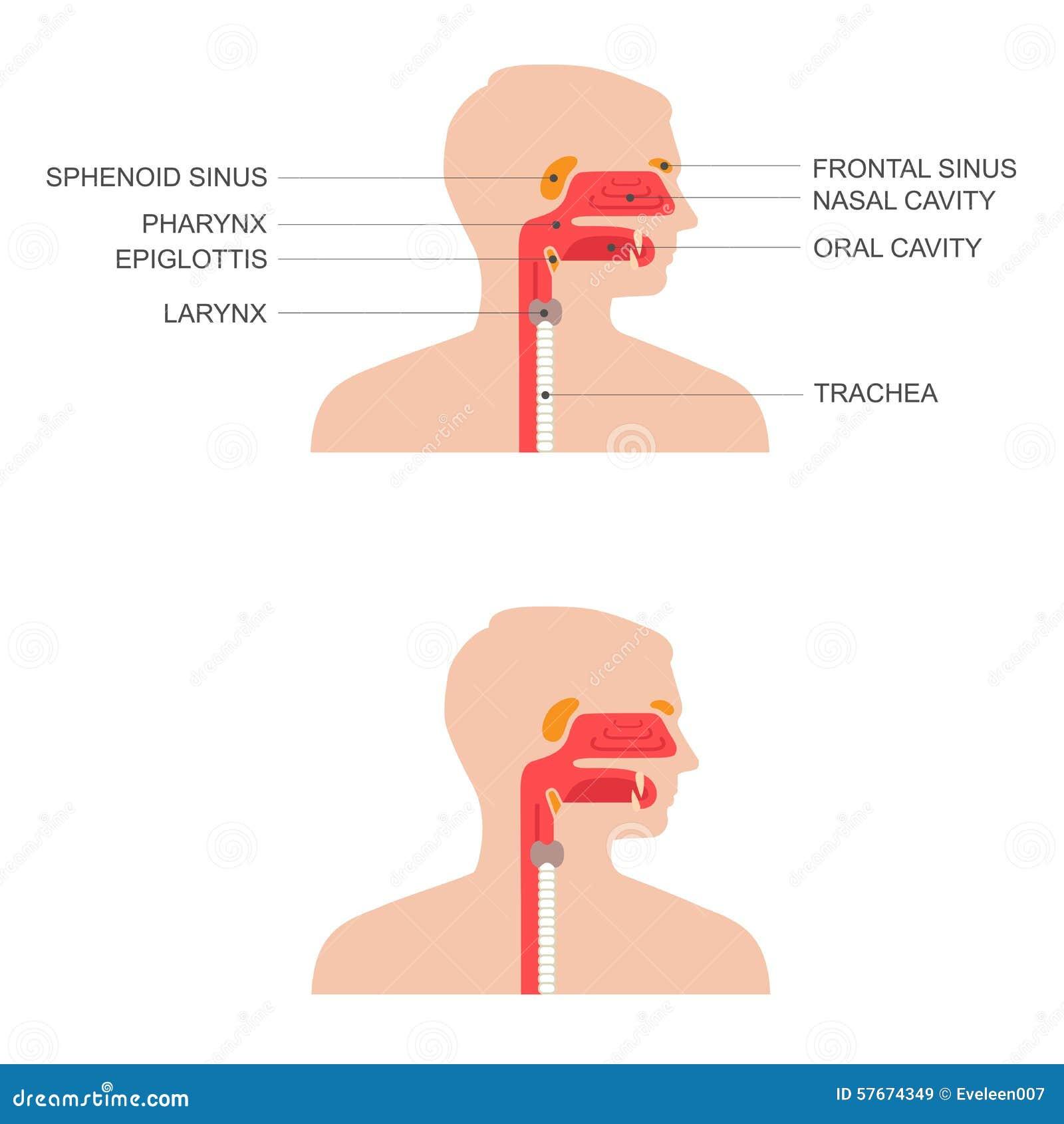 Nose, throat anatomy, stock vector. Illustration of pharynx - 57674349