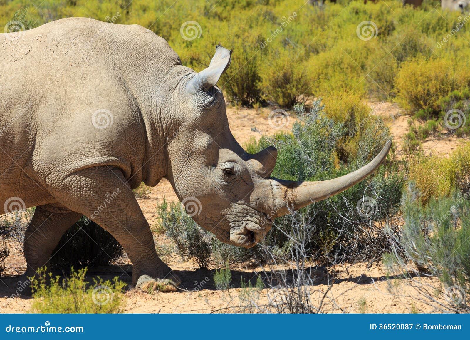 Noshörning i den Kruger nationalparken