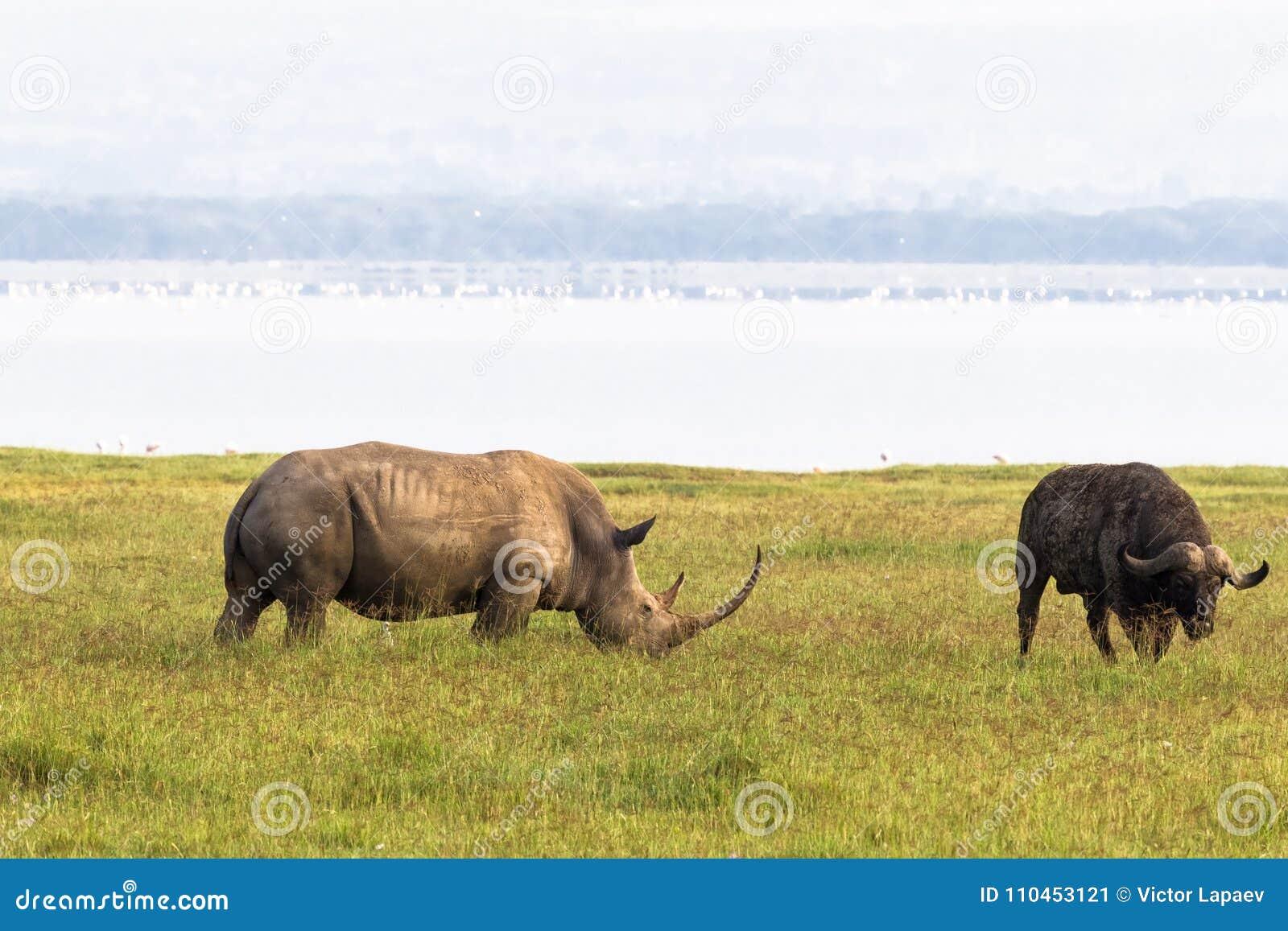 Noshörning på kust av Nakuru sjön Kenya Afrika