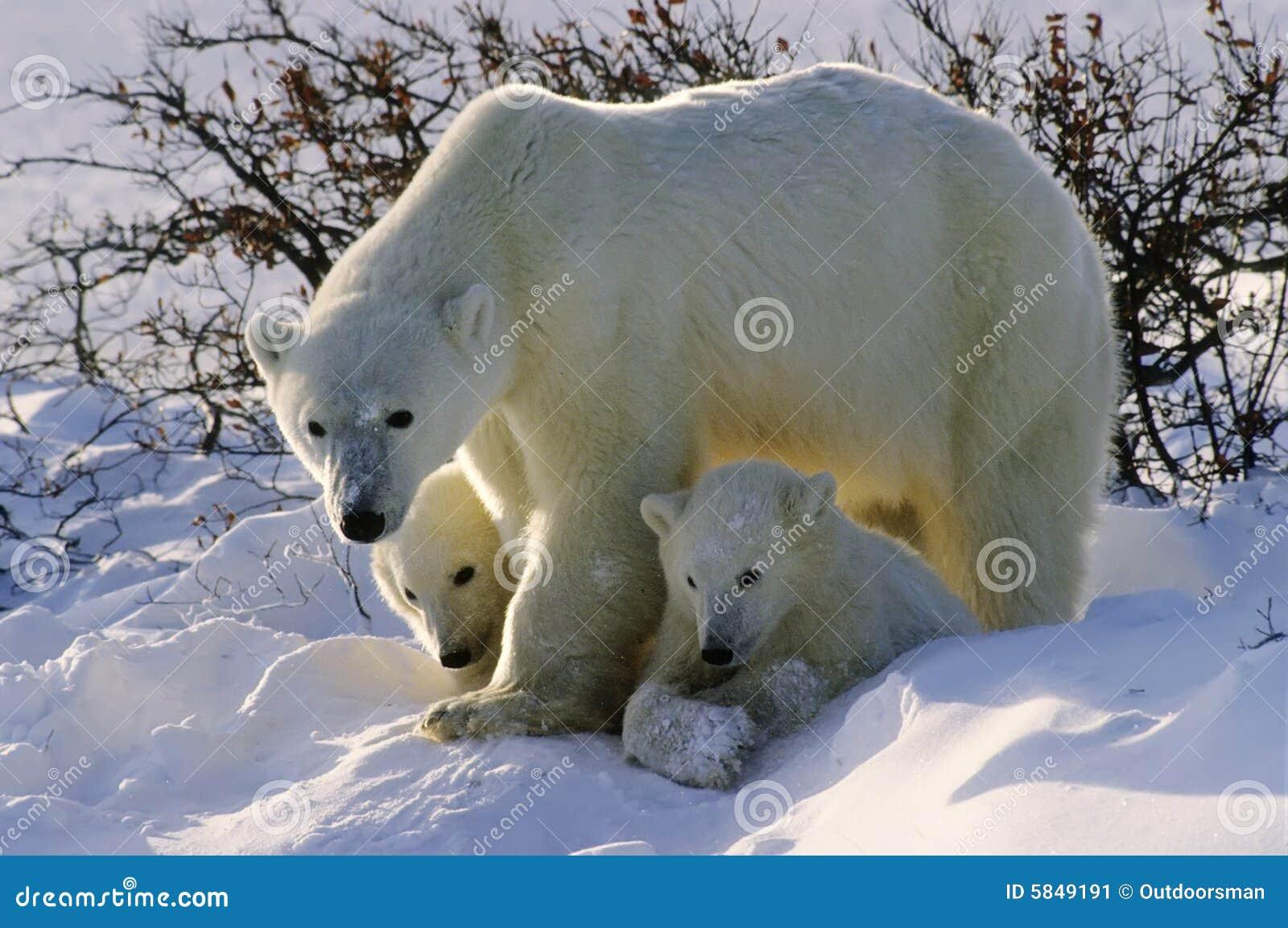 Nosi polarny